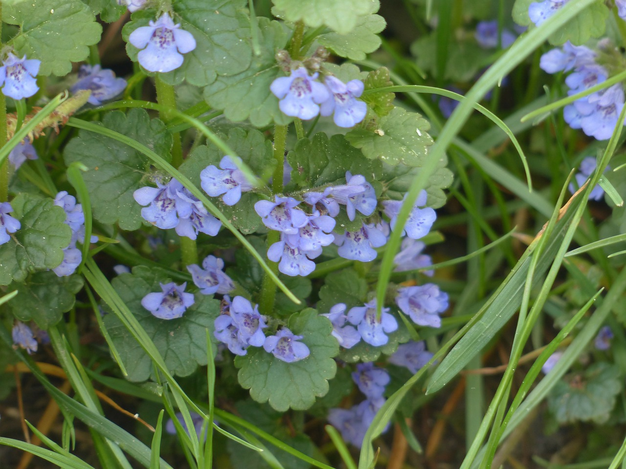 ground ivy blooming from grass