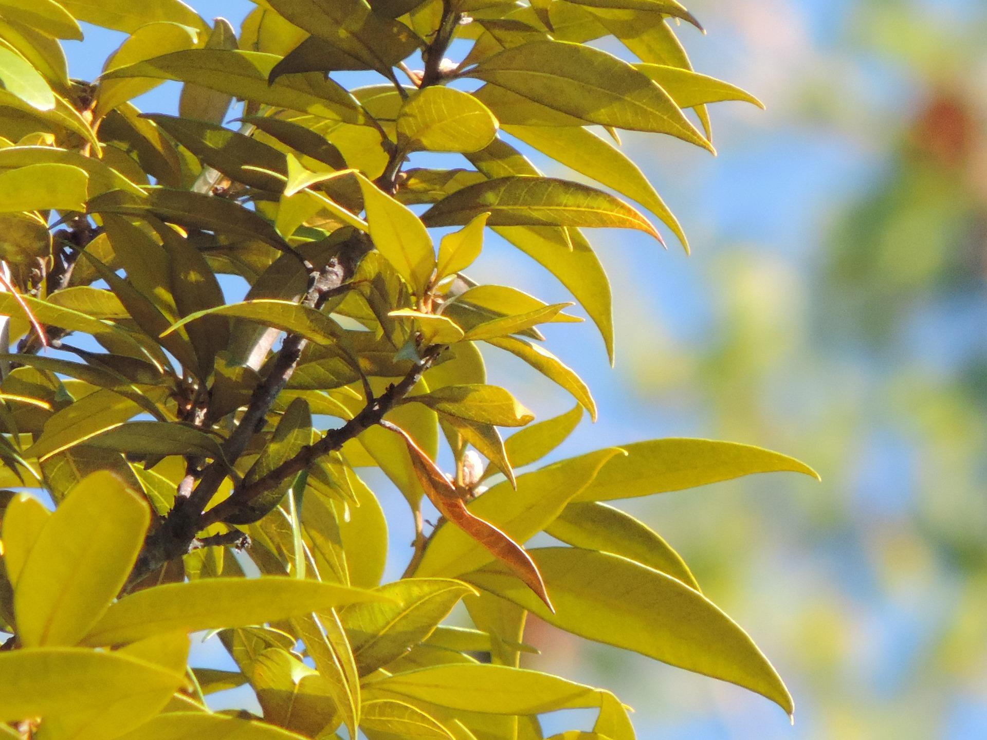Chinquapin Tree
