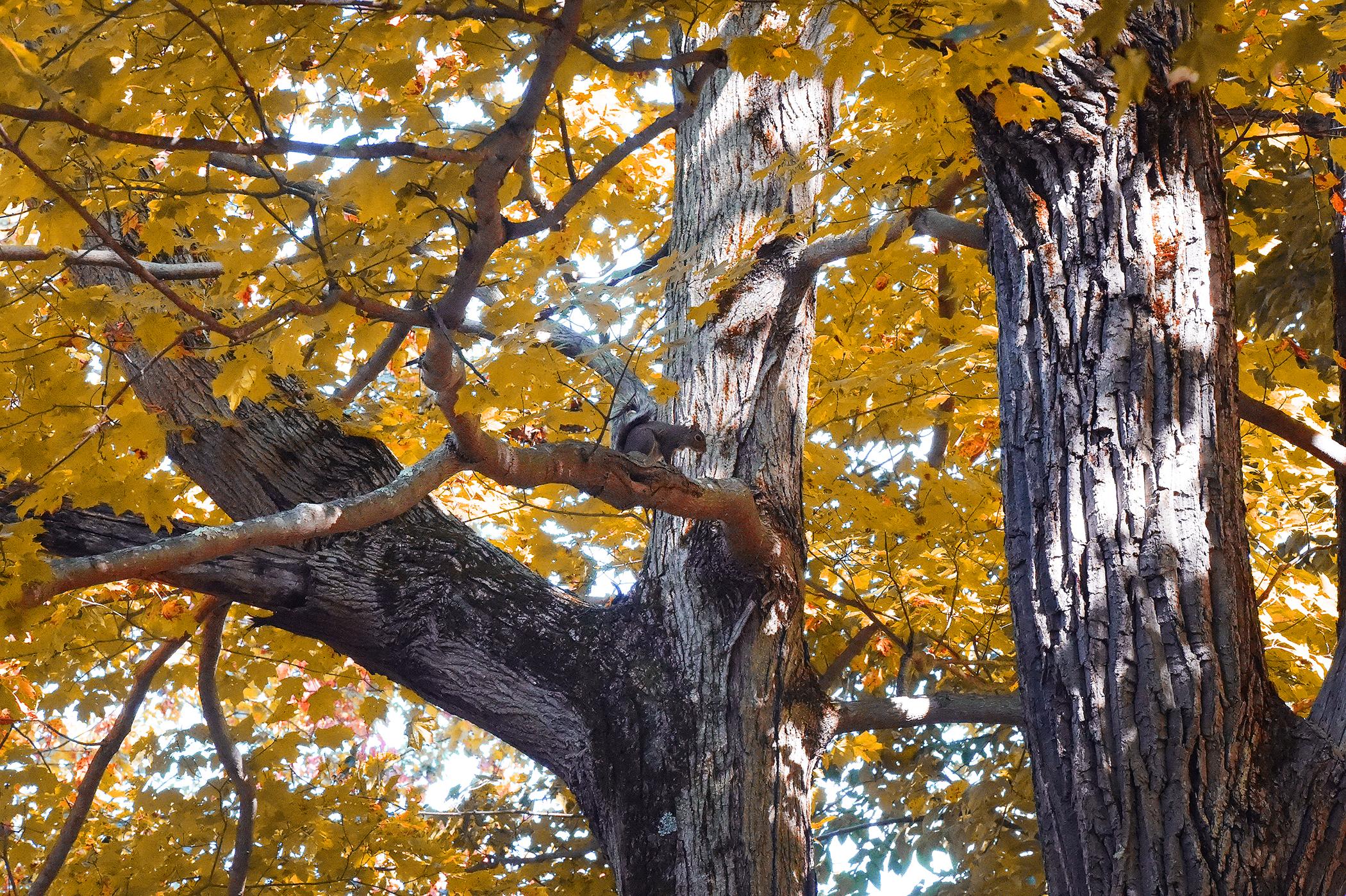squirrel in fall foliage
